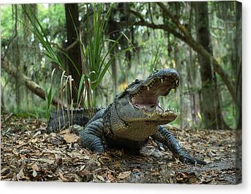 American Alligator (alligator Canvas Print by Pete Oxford