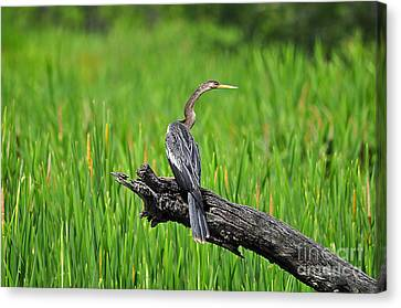 American Anhinga Canvas Print by Al Powell Photography USA
