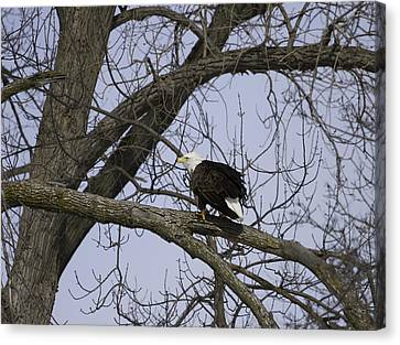 American Bald Eagle With Food 1 Canvas Print by Thomas Young