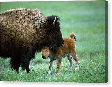 American Bison And Calf Yellowstone Np Canvas Print by Suzi Eszterhas