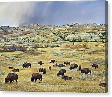 American  Bison Herd Grazing Canvas Print by Tim Fitzharris