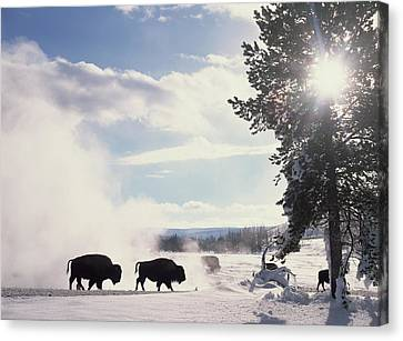American Bison In Winter Canvas Print by Tim Fitzharris