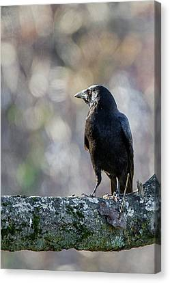 American Crow Canvas Print by Bill Wakeley