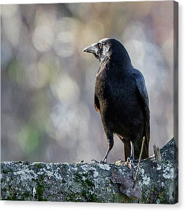American Crow Square Canvas Print by Bill Wakeley