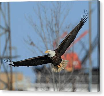 American Eagle Soaring Left Canvas Print by Coby Cooper