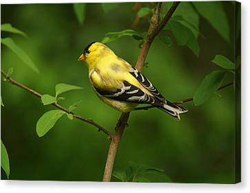 American Gold Finch Canvas Print by Sandy Keeton