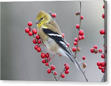 American Goldfinch In Winter Canvas Print by Scott Leslie