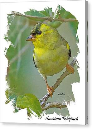 American Goldfinch Canvas Print by Larry Linton