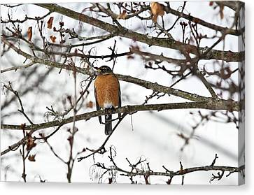 American Robin In A Tree Canvas Print by Bob Gibbons