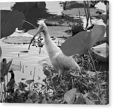 American White Ibis Black And White Canvas Print by Dan Sproul