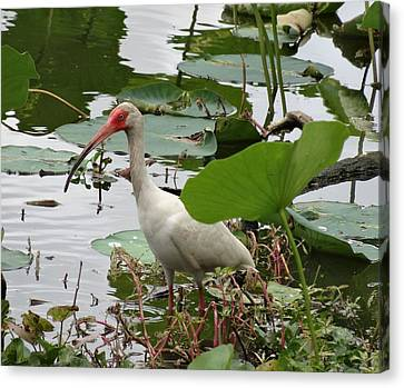 American White Ibis In Brazos Bend Canvas Print by Dan Sproul