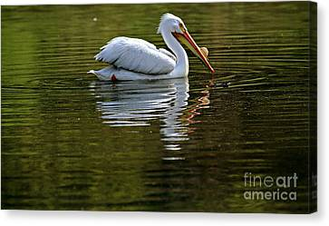 American White Pelican Canvas Print by Elizabeth Winter
