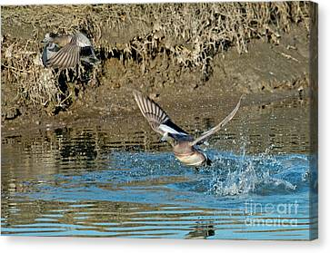American Wigeon Pair Taking Canvas Print by Anthony Mercieca
