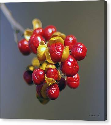 American Winterberry Canvas Print by Brian Wallace