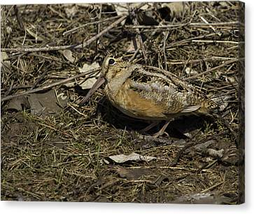 American Woodcock 1 Canvas Print by Thomas Young
