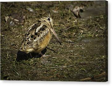 American Woodcock 2 Canvas Print by Thomas Young