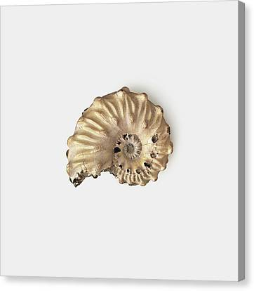 Ammonite Shell Fossilised In Clay Canvas Print by Dorling Kindersley/uig
