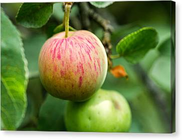 An Apple - Featured 3 Canvas Print by Alexander Senin