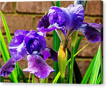 An Iris Blessing Canvas Print by Jon Woodhams