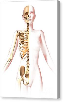 Anatomy Of Female Body With Skeleton Canvas Print by Leonello Calvetti