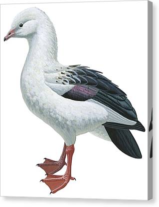 Andean Goose Canvas Print by Anonymous