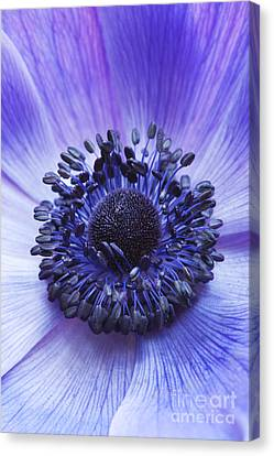 Anemone Coronaria Canvas Print by Tim Gainey