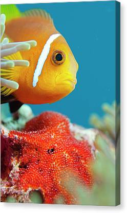 Anemonefish Guarding Eggs Canvas Print by Scubazoo