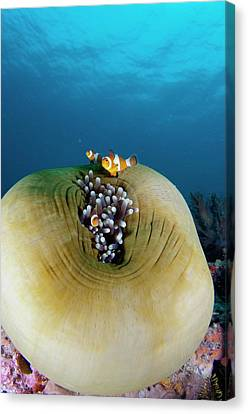 Anemonefish Sheltering In Anemone Canvas Print by Scubazoo