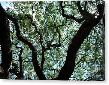 Angel Oak Upward Canvas Print by Manda Renee