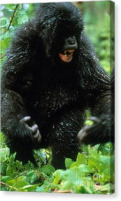 Angry Mountain Gorilla Canvas Print by Art Wolfe