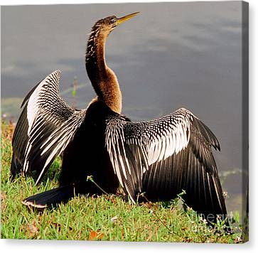 Anhinga Anhinga Anhinga Drying Plumage Canvas Print by Millard H. Sharp