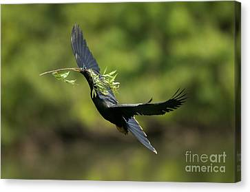 Anhinga Canvas Print by Anthony Mercieca