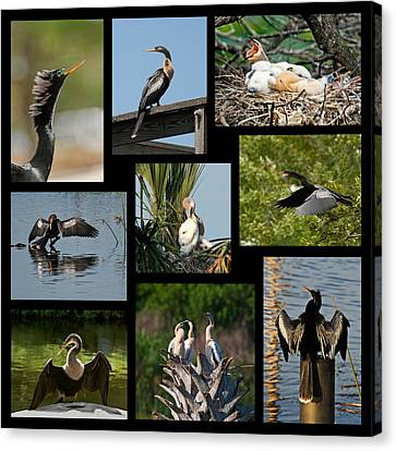 Anhinga Collage Canvas Print by Dawn Currie