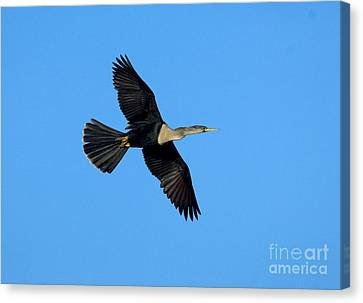 Anhinga Female Flying Canvas Print by Anthony Mercieca