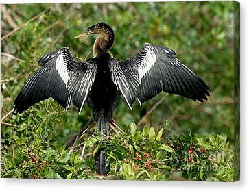 Anhinga Sunning Canvas Print by Anthony Mercieca