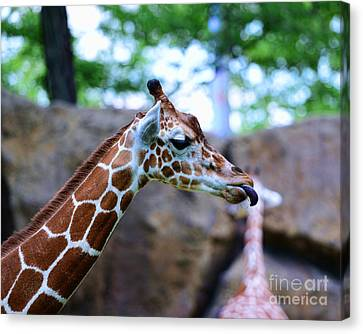 Animal - Giraffe - Sticking Out The Tounge Canvas Print by Paul Ward