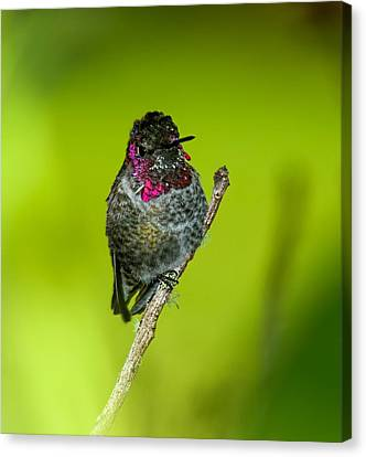 Anna's Hummingbird 2014 Canvas Print by Lara Ellis