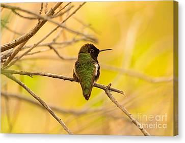 Anna's Hummingbird Glow 16x20 $80 Canvas Sale Canvas Print by John F Tsumas