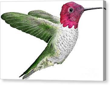 Annas Hummingbird Canvas Print by Roger Hall