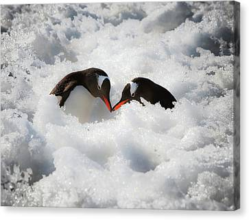 Antarctica A Pair Of Gentoo Penguins Canvas Print by Janet Muir