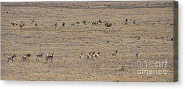 Antelope Herd Canvas Print by Donna Greene