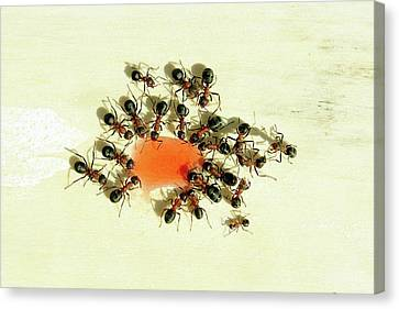 Ants Feeding Canvas Print by Heiti Paves