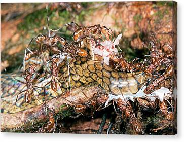 Ants Feeding On A Decomposing Snake Canvas Print by Dr Morley Read