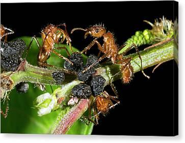 Ants Harvesting Leafhopper Honeydew Canvas Print by Dr Morley Read