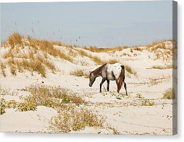 Appaloosa Beach Canvas Print by Barbara Kraus - Northrup