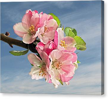 Apple Blossom And Blue Skies Canvas Print by Gill Billington