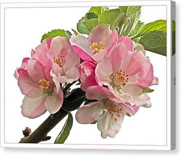 Apple Blossom Canvas Print by Gill Billington
