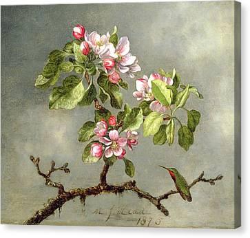 Apple Blossoms And A Hummingbird Canvas Print by Martin Johnson Heade