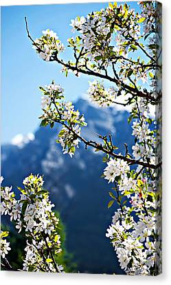 Apple Blossoms Frame The Rockies Canvas Print by Lisa Knechtel