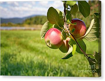 Apple Orchard Canvas Print by Jane Rix